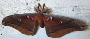 Iamb a moth.