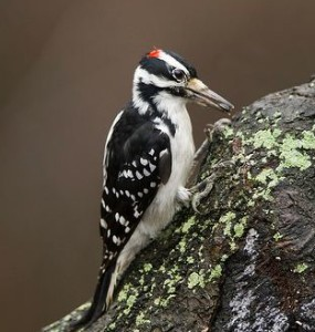 Arkive: hairy-woodpecker-male-on-tree-stump, Wild Nature Pictures.